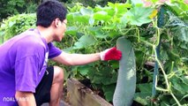 Giant Winter Melon Harvest  How to grow and harvest winter melon  How its work 2017