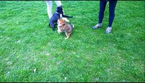 Weimaraner Puppy Playing with Pomsky Puppy (2 Very Energetic Puppies!)