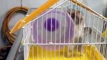 Em Là Hamster Bear, Đề nghị cho cái lồng đúng với thân hình em !!!