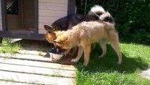 Funny Puppy Video : Puppy Splashing in Water Bowl!