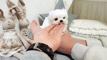Tiniest Cutest micro teacup maltese puppy - Teacup puppies KimsKennelUS