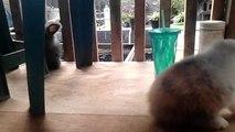fuzzy lop rabbit & english angora rabbit