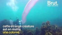 Une étrange créature découverte au large des côtes de Nouvelle-Zélande