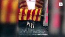 El perro que aprovecha el auto-lavado de coches para darse un masaje gratis