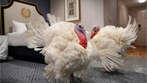 Turkeys Competing For President's Annual Thanksgiving Pardoning