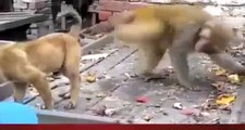 Monkey harasses puppy  pulls tail in humour - hilarious sequence