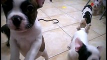 French Bulldog Puppies for Sale in Florida, French Bulldog puppies for sale in FL CA  NY TX