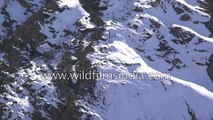 Snow Leopard and prey take deadly tumble off 400 foot cliff  big cat wins  Rarest shot EVER
