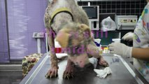 UPDATE !  PUPPY  STARVING IN A REMOTE AREA ! CLEO HAS EXTREME MANGE AND SIGNS OF STARVATION...
