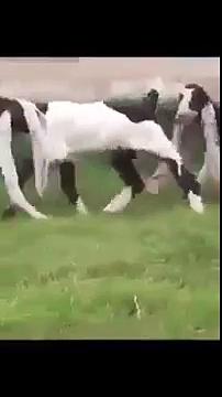 Longest Goat Ear, Hijazi Goat, cattleforyou