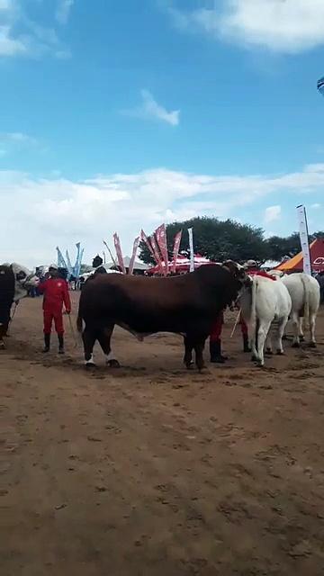 """Parading of livestock and horsesTheme """"Sustainable Economic Diversification Beyond 50 years through Green Technology.""""#GoMasisi#MovingBotswanaForward #Gants"""