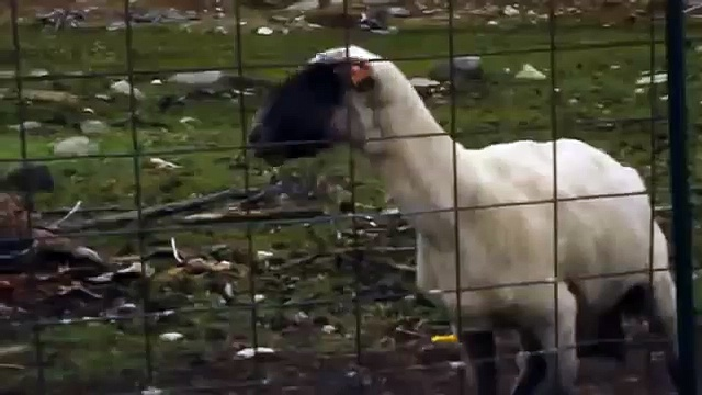 Funny Goat Yelling like Human HD 2013 !!