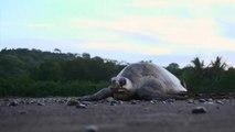 Costa Rica: aperta la stagione delle tartarughe