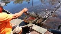 Il nourrit un énorme alligator sauvage depuis son bateau
