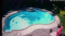 Un biche fait trempette dans une piscine