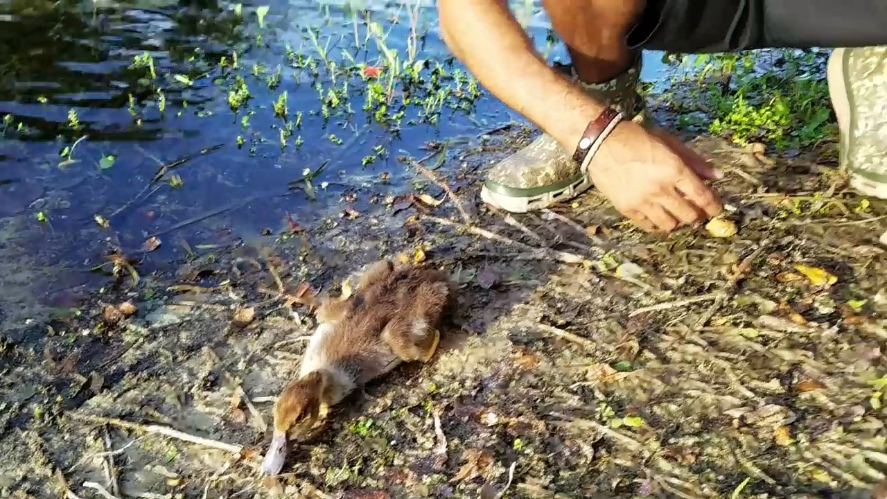 SAVING HURT BABY DUCK from TURTLES! **i am a New MOM**