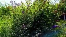 Zeig her deinen Schmetterlingsgarten: Aufruf zu Schmetterlingszählung in Österreichs Gärten. Großes Ochsenauge wieder Platz 1?
