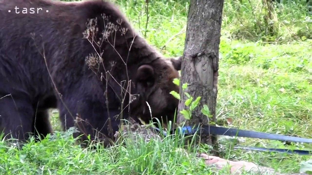 Medveď hnedý testoval odpadový kontajner