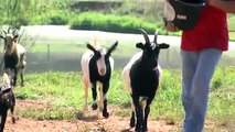 Randolph County brothers sell 'fainting goats' on farm