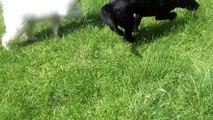 Samoyed Kelly & Labrador Lexi puppies mooching.