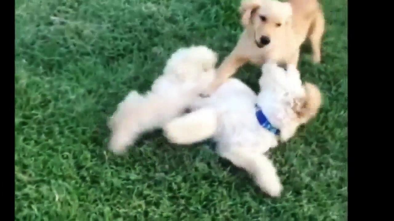 Cutie Cutie|Puppies Video Compilation   Best of 2017 13 06 2018 2