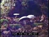 Mushroom TL - Time Lapse of Mushrooms Growing - Best Shot Footage - Stock Footage