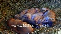 New-born cute Bhutia pupy litter in the Himalaya- eyes still not open