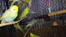 Lovebirds Singing | Love Birds Singing | Small Parrots