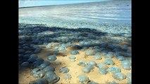 Invasão das águas-vivas assassinas ou algum fenômeno da Natureza?