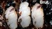 Parthénogenèse : ces femelles qui se reproduisent sans mâle