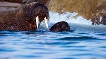 Morsas lutam para proteger seus filhotes do degelo | Planeta Azul II | Discovery Brasil