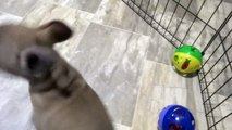 French Bulldog puppy for Sale, Male , French bulldog Puppies for Sale in Miami