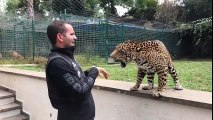 JAGUAR_AND_TIGER_PLAYING_WITH_OWNER!