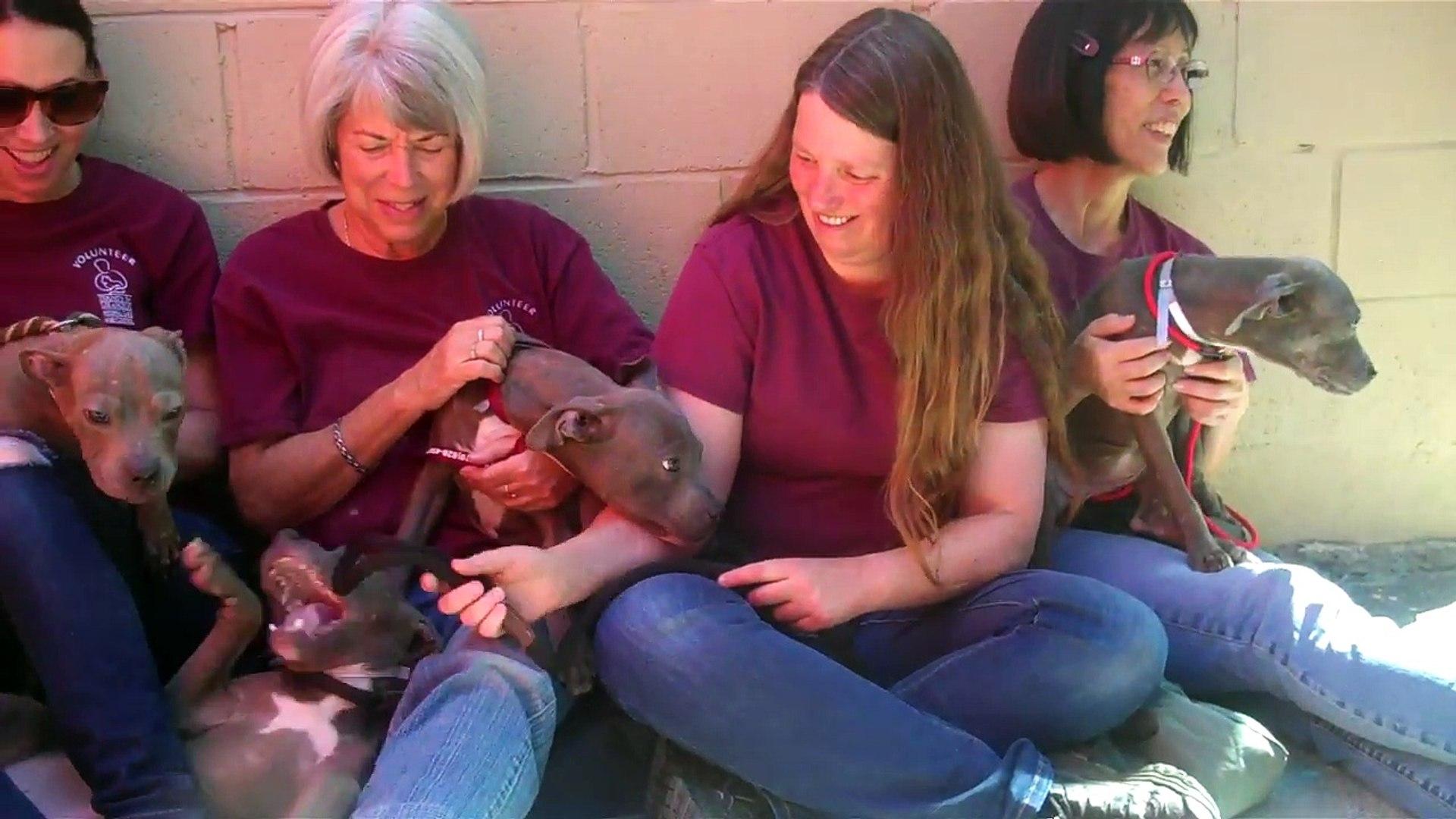 A5166129, 136, 137, 138, 139   Pit Bull / Weimaraner Mix Puppies