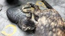 The Cat is feeding her kitten - Funny cat kitten pet animal video compilation 2018