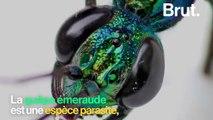 La guêpe émeraude, un insecte parasite