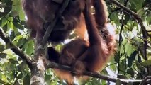 GREEN Palm Oil Deforestation Documentary by Patrick Rouxel ANIMAL DOCUMENTARY