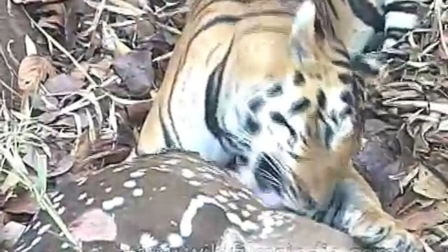 Tiger tearing deer apart