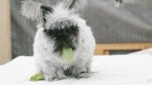 The Fluffy Rabbit Wrangler (BROKEN)