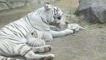 Une maman tigre blanche et ses 3 petits tigrons... Adorable