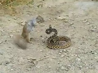 Squirrel attacking snake