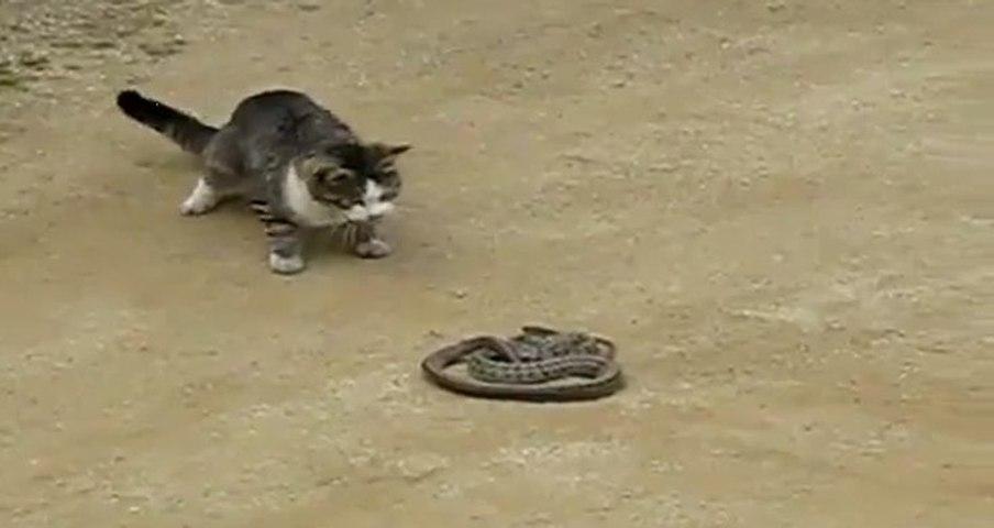 cat vs incredible snake