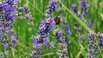 Alpes-de-Haute-Provence : la lavande fine prête à récolter à Redortiers