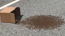 Il sauve des milliers d'abeilles perdues sur la route d'une façon incroyable