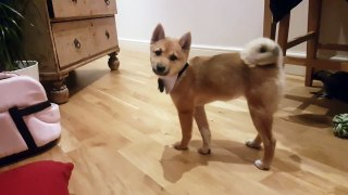 Puppy dog cute shiba inu butler bow tie outfit sits