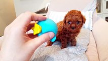 Look at this teacup poodle baby video cutest puppy  - Teacup puppies KimsKennelUS