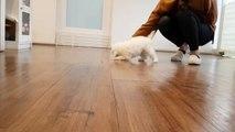 Bichon Frise Poodle Puppies - 85 - DoggyMan – Видео Dailymotion
