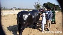 Nili Ravi Buffalo DEKHI BHE HAI KABHI - - video dailymotion