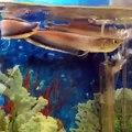Black Arowana,Blue Arowana for sale,(aquariumfishsupplier@gmail.com)