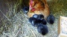 Poussins sous poule couveuse au jour 1